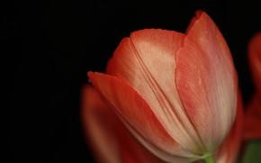 Picture flower, macro, Tulip
