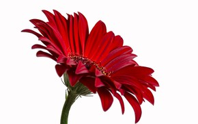 Picture macro, flowers, white background, gerbera, gerbera red