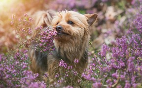 Wallpaper dog, Heather, Yorkshire Terrier, York