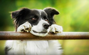 Picture face, dog, The border collie