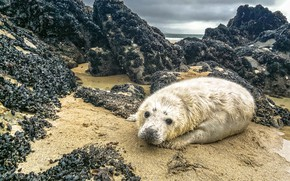 Picture sand, sea, the sky, clouds, stones, rocks, shore, seal, shell, face, cub, wildlife, shellfish, seal