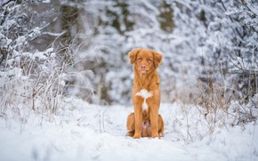 Picture winter, frost, forest, snow, branches, nature, dog, red, puppy, sitting, light background, doggie, Retriever, twigs, ...