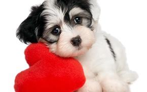 Picture heart, puppy, puppy, heart, Valentines Day