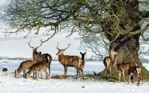 Wallpaper family, tree, the herd, snow, horns, deer