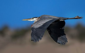 Picture flight, bird, wings, beak, great blue Heron
