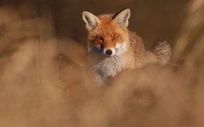 Picture look, Fox, red, bokeh