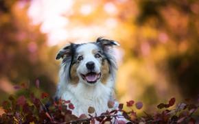 Picture face, leaves, dog, bokeh, Australian shepherd, Aussie