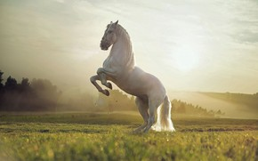 Picture White, Field, Animal, Horse