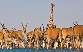 Picture giraffe, Africa, drink, antelope, Kanna