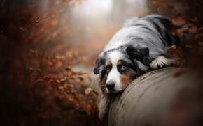 Picture autumn, look, dog, log, Australian shepherd, Aussie