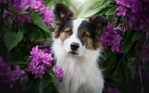 Picture look, face, flowers, dog, The border collie, rhododendrons