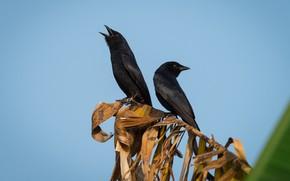 Picture birds, a couple, Drongo black