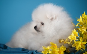Picture white, flowers, cute, puppy, Spitz