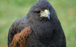 Picture bird, hawk, by Nushaa