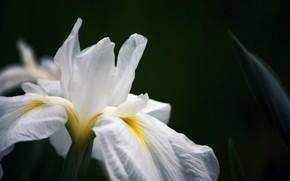 Picture macro, nature, petals, iris