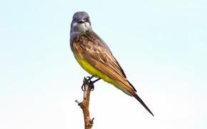 Picture bird, branch, beak, tail, papelera tyrant Flycatcher Flycatcher