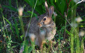 Picture grass, hare, meadow, hare