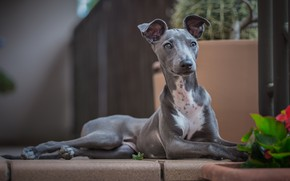 Picture look, dog, Italian Greyhound