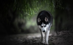 Picture look, branches, dog, husky, bokeh