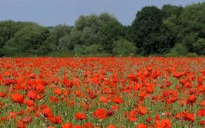 Picture field, trees, flowers, Maki, flowering