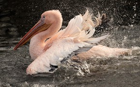 Picture drops, squirt, Bird, pond, Pelican