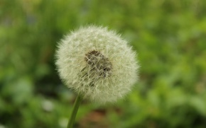 Picture greens, flower, macro, dandelion, green, spring, flower, blossom, macro, spring, dandelion, oduvan