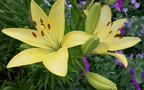 Picture Lily, flowerbed, yellow
