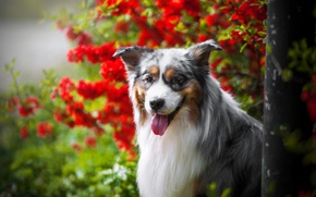 Wallpaper language, face, Australian shepherd, Aussie, bokeh, portrait, dog