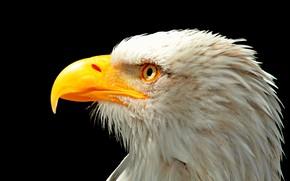 Picture bird, head, beak, Eagle, USA, USA, Eagle, bird, Bald eagle