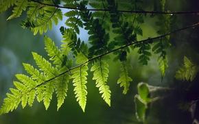 Wallpaper macro, spring, fern, branch, Furness