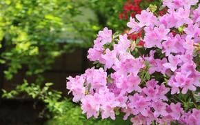 Picture pink, Bush, Azalea