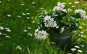 Picture grass, flowers, chamomile, bucket, Jasmine, jasmin