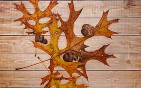 Picture autumn, leaves, acorn