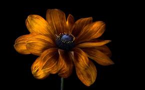 Picture flower, the dark background, rudbeckia