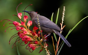 Picture flower, bird, beak, myzomela