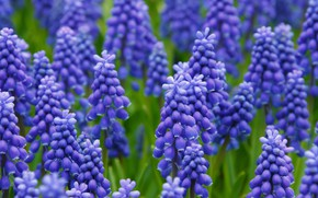Picture flowers, hyacinths, hyacinth