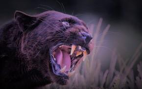 Wallpaper nature, cat, panther, wild, black panther, aggressive