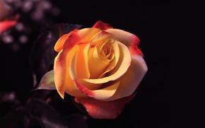 Wallpaper rose, petals, Bud