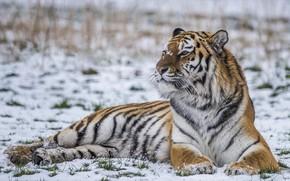 Wallpaper power, snow, predator, tiger