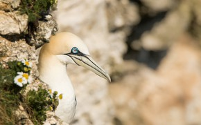Picture LOOK, NATURE, BIRD, GANNET