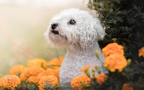 Picture look, face, flowers, dog, marigolds