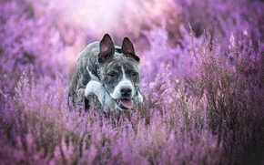 Picture dog, bokeh, Heather, American Staffordshire Terrier