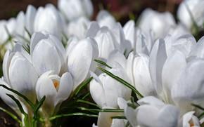 Picture macro, joy, flowers, nature, tenderness, beauty, plants, spring, crocuses, primroses, cottage, flora, white color, April, …
