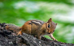 Picture nature, Chipmunk, animal