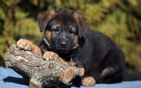 Wallpaper log, puppy, shepherd