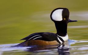 Picture bird, South Carolina, USA, duck, crested merganser, Beaufort
