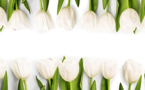 Picture flowers, spring, tulips, white, white, fresh, flowers, tulips, spring