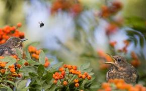 Picture birds, branches, nature, berries, bee, Rowan