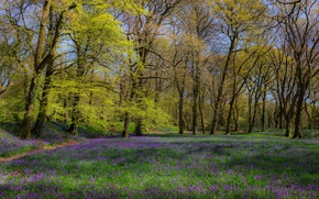 Picture forest, grass, trees, flowers, glade, England, spring
