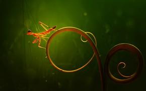 Picture macro, bokeh, rostenie, little mantis